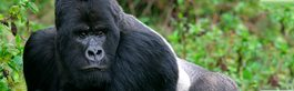 Gorillas + The Big Five - NEW!