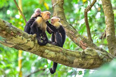Capuchin Monkeys in Manuel Antonio National Park, Costa Rica